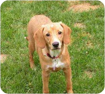 Spaniel (Unknown Type) Mix Puppy for adoption in Rigaud, Quebec - Rhea