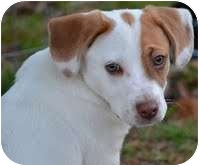 Beagle/Dachshund Mix Puppy for adoption in Portland, Maine - Tony