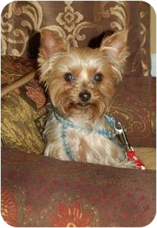 Yorkie, Yorkshire Terrier Dog for adoption in Charlotte, North Carolina - Carli