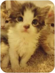 Domestic Mediumhair Kitten for adoption in Warren, Ohio - Chung Lee