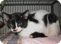 Domestic Shorthair Kitten for adoption in Shelton, Washington - Tac