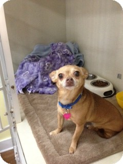 Chihuahua Dog for adoption in Columbia, South Carolina - Macy