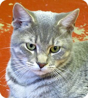 Domestic Shorthair Cat for adoption in Marseilles, Illinois - Allister
