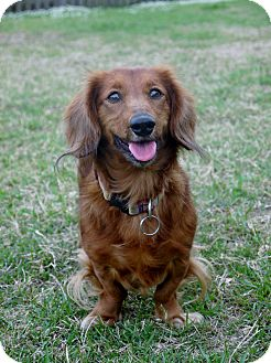 Dachshund Dog for adoption in Baton Rouge, Louisiana - Reba