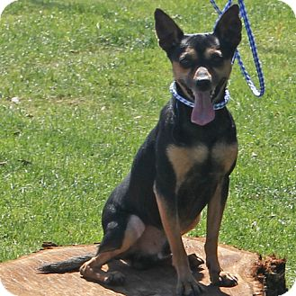 Manchester Terrier Mix Dog for adoption in Indio, California - Danny