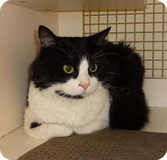 Domestic Mediumhair Cat for adoption in N. Billerica, Massachusetts - Hawk