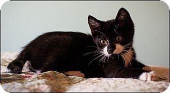 Domestic Shorthair Kitten for adoption in Colville, Washington - Kittens - Tuxedo