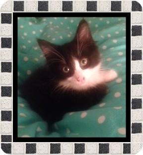 Domestic Mediumhair Kitten for adoption in Mt. Prospect, Illinois - Tobie