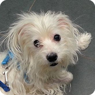 Maltese/Terrier (Unknown Type, Small) Mix Dog for adoption in Romeoville, Illinois - Gucci *Adoption Pending*