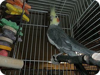 Cockatiel for adoption in Neenah, Wisconsin - Jasper