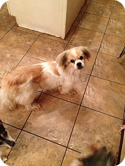 Pekingese/Spaniel (Unknown Type) Mix Dog for adoption in Brooksville, Florida - Sam