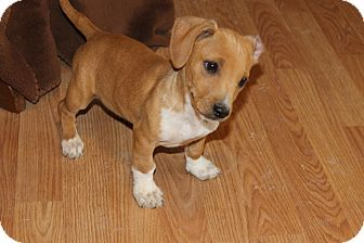 Dachshund/Chihuahua Mix Puppy for adoption in Fountain, Colorado - Winston