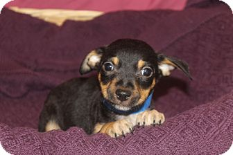 Chihuahua/Terrier (Unknown Type, Medium) Mix Puppy for adoption in Waldorf, Maryland - Chief