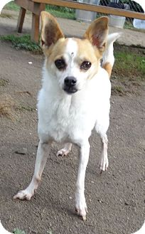 Chihuahua Mix Dog for adoption in Lapeer, Michigan - SCOOTER-LOVABLE CHIHUAHUA