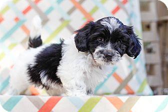Shih Tzu/Maltese Mix Puppy for adoption in Auburn, California - Abbott