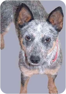 Australian Cattle Dog Puppy for adoption in Grass Valley, California - Izzy