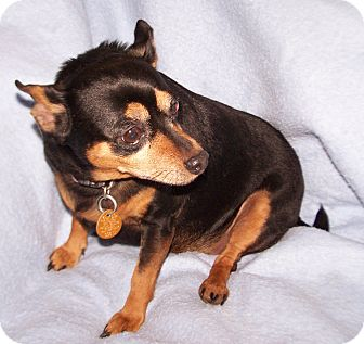 Chihuahua/Miniature Pinscher Mix Dog for adoption in Greensboro, Georgia - Maggie May