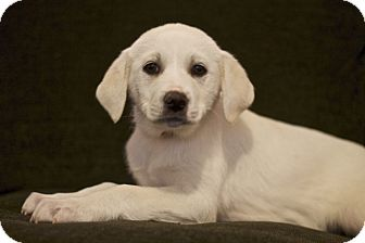 Labrador Retriever/Great Pyrenees Mix Puppy for adoption in Mt. Prospect, Illinois - Acadia