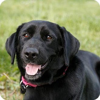 Labrador Retriever Mix Dog for adoption in Columbia, Illinois - Ella