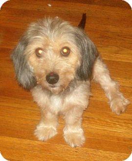 Dachshund/Silky Terrier Mix Dog for adoption in Buffalo, New York - Sandy