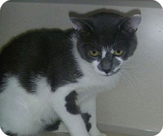Domestic Shorthair Cat for adoption in Hamburg, New York - Lucas