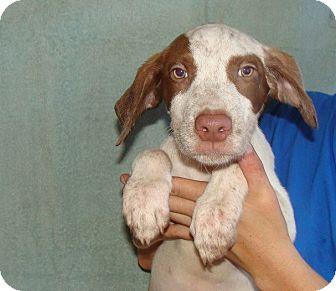German Shorthaired Pointer/Labrador Retriever Mix Puppy for adoption in Oviedo, Florida - Texas
