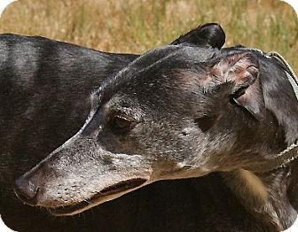 Greyhound Dog for adoption in Portland, Oregon - Rebecca