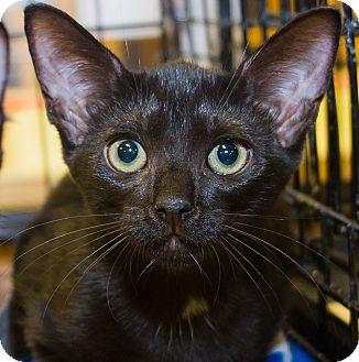 Domestic Shorthair Kitten for adoption in Irvine, California - Maggie