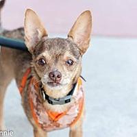Chihuahua Mix Dog for adoption in Tucson, Arizona - Munchkin