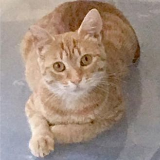 Domestic Shorthair Cat for adoption in Oakland, California - Daisy [CP]