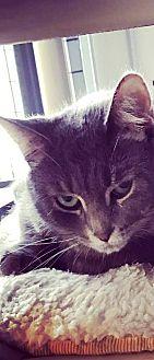 Domestic Shorthair Cat for adoption in Kalamazoo, Michigan - Trinity