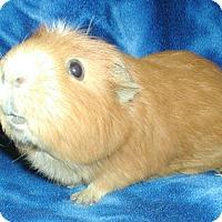Adopt A Pet :: Cindy - Steger, IL