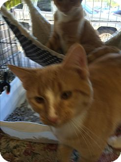 Domestic Shorthair Cat for adoption in Clay, New York - Scooter&Squirt