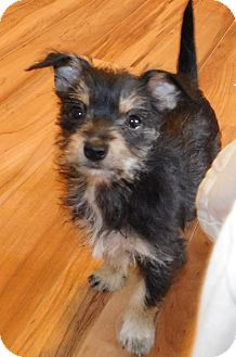 Terrier (Unknown Type, Small)/Schnauzer (Miniature) Mix Puppy for adoption in Conesus, New York - Blair