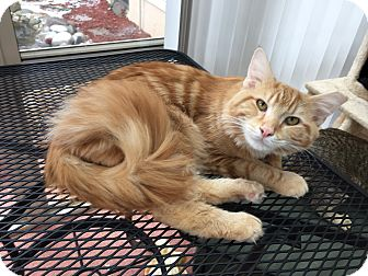 Domestic Mediumhair Cat for adoption in Canton, Ohio - Leo - Courtesy Post