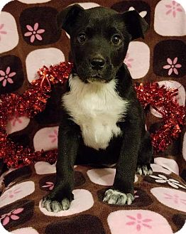 Labrador Retriever Mix Puppy for adoption in Elkton, Maryland - Penelope