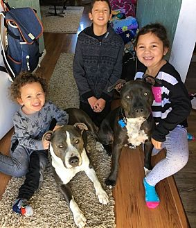 Pit Bull Terrier Mix Dog for adoption in Beverly Hills, California - Benny- Courtesy Post