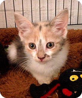 Domestic Shorthair Kitten for adoption in River Edge, New Jersey - Rosemary