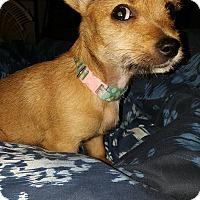 Adopt A Pet :: Itsie Bitsie - Hagerstown, MD
