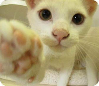 Domestic Shorthair Kitten for adoption in Lloydminster, Alberta - Kibbles