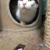 Domestic Shorthair/Domestic Shorthair Mix Cat for adoption in Monroe, Michigan - Katja