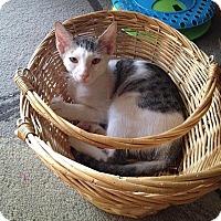 Adopt A Pet :: Juju Bee - Tampa, FL