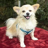 Adopt A Pet :: Owen-cute little Pom boy - Santa Fe, TX