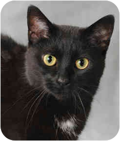 Domestic Shorthair Cat for adoption in Chicago, Illinois - Winter
