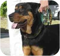 Rottweiler Dog for adoption in Boca Raton, Florida - Mickey