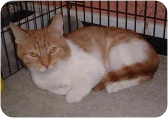 Domestic Shorthair Cat for adoption in Honesdale, Pennsylvania - Popsicle