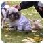 Photo 3 - Shih Tzu/Pekingese Mix Dog for adoption in Calgary, Alberta - Olie