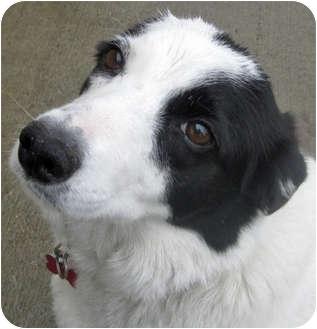Border Collie/Australian Shepherd Mix Dog for adoption in Hayden, Idaho - Priscilla