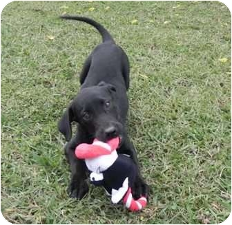 Labrador Retriever Mix Puppy for adoption in Foster, Rhode Island - Callum