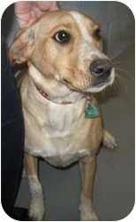 Labrador Retriever/Australian Cattle Dog Mix Dog for adoption in Stillwater, Oklahoma - Molly